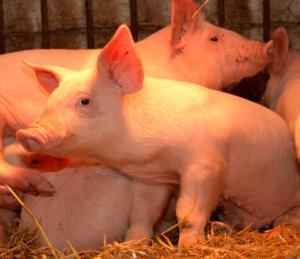 Producción de Porcinos